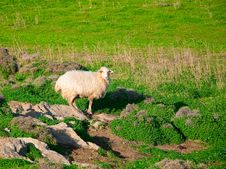 Free One Sheep On A Green Pasture In The Village Royalty Free Stock Image - 13660626
