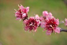 Peach Tree Royalty Free Stock Image