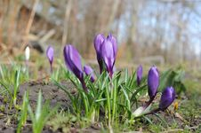 Free Crocus Flowers Royalty Free Stock Photo - 13661075