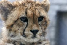 Free Cheetah Baby Close-up Royalty Free Stock Images - 13661199