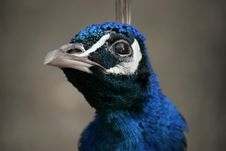Free Peacock Close-up Stock Images - 13661204