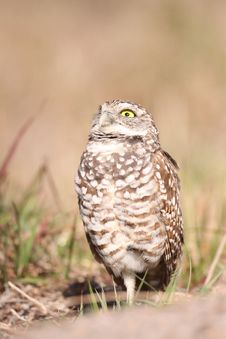 Free Burrowing Owl Stock Images - 13661254