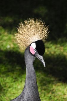 Free African Crowned Crane Stock Image - 13661511