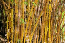 Free Golden Bamboo Royalty Free Stock Images - 13661819