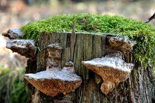 Free Mushrooms On A Stub. Stock Image - 13663921