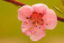 Free Close Up Of Peach Flowers Royalty Free Stock Photography - 13664167