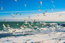 Free Seagulls At Winter Sea Royalty Free Stock Image - 13664556