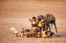 Free African Wild Dogs (Lycaon Pictus) Stock Images - 13665504