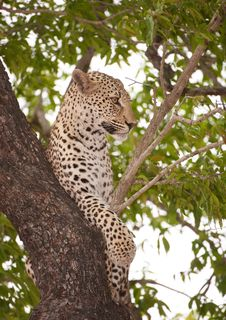Free Leopard Lying On The Tree Stock Photos - 13665523