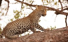 Free Leopard Standing On The Tree Stock Image - 13665551