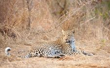 Free Leopard Resting In Savannah Royalty Free Stock Photography - 13665557