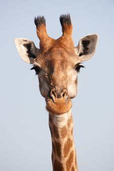 Free Single Giraffe (Giraffa Camelopardalis) Stock Photos - 13665593