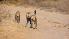 Free Cheetah (Acinonyx Jubatus) Cubs Royalty Free Stock Photo - 13665605