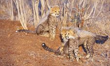 Free Cheetah (Acinonyx Jubatus) Cubs Royalty Free Stock Photos - 13665608