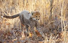 Free Cheetah (Acinonyx Jubatus) Cub Stock Photos - 13665613