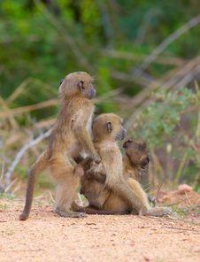 Free Chacma Baboons (Papio Cynocephalus) Royalty Free Stock Photos - 13665628