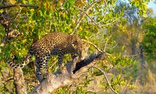 Free Leopard Standing On The Tree Stock Photography - 13665632