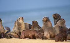 Free Group Of Sea Lions On The Beach Royalty Free Stock Photo - 13665635
