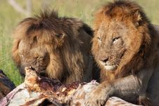 Free Two Lions (panthera Leo) In Savannah Stock Image - 13665641