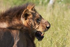 Free Lion (panthera Leo) In Savannah Stock Images - 13665644