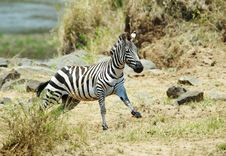 Free Single Zebra (African Equids) Running Royalty Free Stock Photography - 13665687
