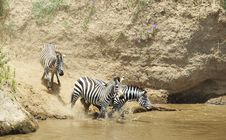 Free Herd Of Zebras (African Equids) Royalty Free Stock Images - 13665689