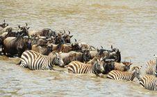 Free Herd Of Zebras (African Equids) Stock Images - 13665694