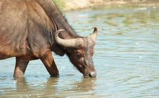 Free Buffalo (Syncerus Caffer) In The Wild Royalty Free Stock Photos - 13665718