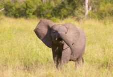 Free Small Elephant Calf In Savannah Stock Image - 13665741