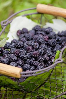 Free Blackberries Stock Image - 13665841