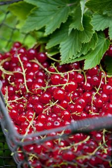 Free Redcurrant Royalty Free Stock Photo - 13666385