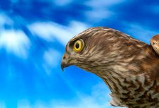 Free Birds Of Europe - Sparrow-hawk Stock Image - 13667041