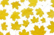 Free Autumn Maple Leaves Royalty Free Stock Images - 13667049