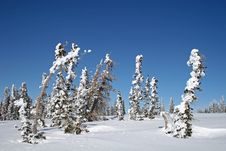 Free Snow Covered Trees Stock Photography - 13667252