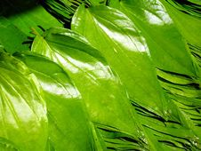 Free Beetle Nut Leaves Stock Photos - 13667913