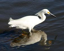 A Snowy Egret At Ding Darling Stock Image