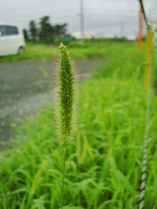 Green Bristlegrass Herb Royalty Free Stock Images
