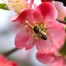 Free Begonia And Bee Stock Image - 13669511