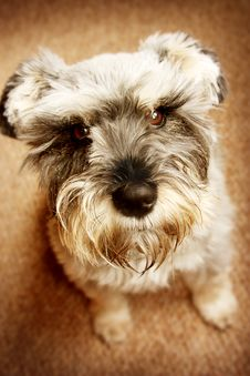 Free Miniature Schnauzer Royalty Free Stock Images - 13669799