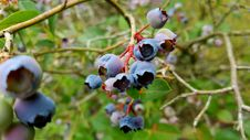 Free Blueberry, Berry, Plant, Bilberry Royalty Free Stock Photography - 136624677