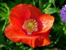 Free Flower, Wildflower, Poppy, Poppy Family Stock Photos - 136624893
