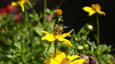 Free Flower, Bee, Honey Bee, Yellow Stock Photography - 136624922