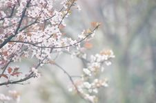 Free Branch, Blossom, Spring, Cherry Blossom Royalty Free Stock Photography - 136625137