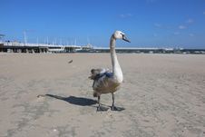 Free Water Bird, Ducks Geese And Swans, Bird, Swan Stock Photos - 136625173