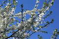 Free Apple Tree Blossom Royalty Free Stock Image - 13672076