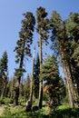 Free Tall Trees Stock Photos - 13673883