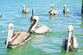 Free Group Of Pelicans Stock Photos - 13674863