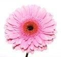 Free Pink Gerbera Stock Image - 13676291