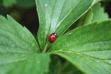 Free Ladybird Stock Photos - 13672013