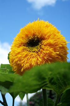 Free Sunflower Royalty Free Stock Photography - 13672187